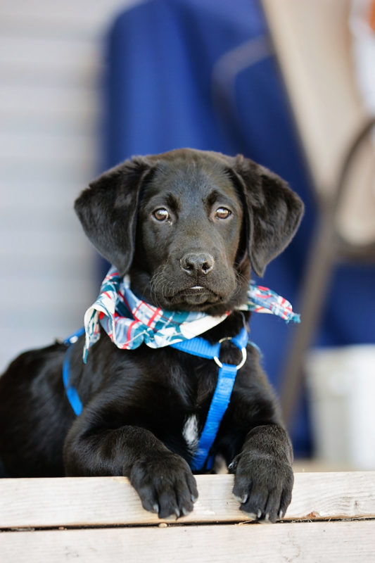 Image of Black Lab puppy.