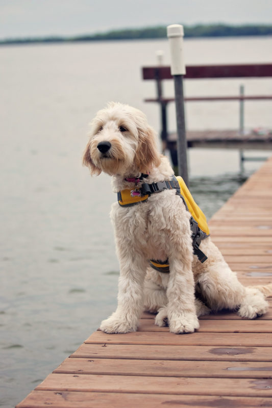 Image of Goldendoodle puppy with a lifejacket on.